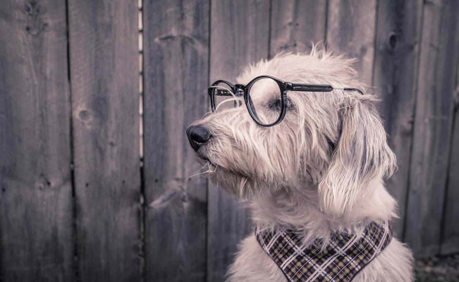 white hairy dog wearing black rimmed glasses and a checked hankerchief around its neck. The dog is sat in front of a wooden fence whilst looking to the right-hand side.